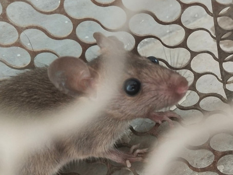 Mice force western NSW jail evacuation, temporary inmate relocation