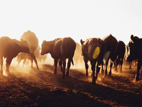 Australian beef industry at the crossroads: Rabobank