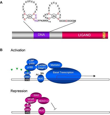 nuclearreceptorsfig1.jpg