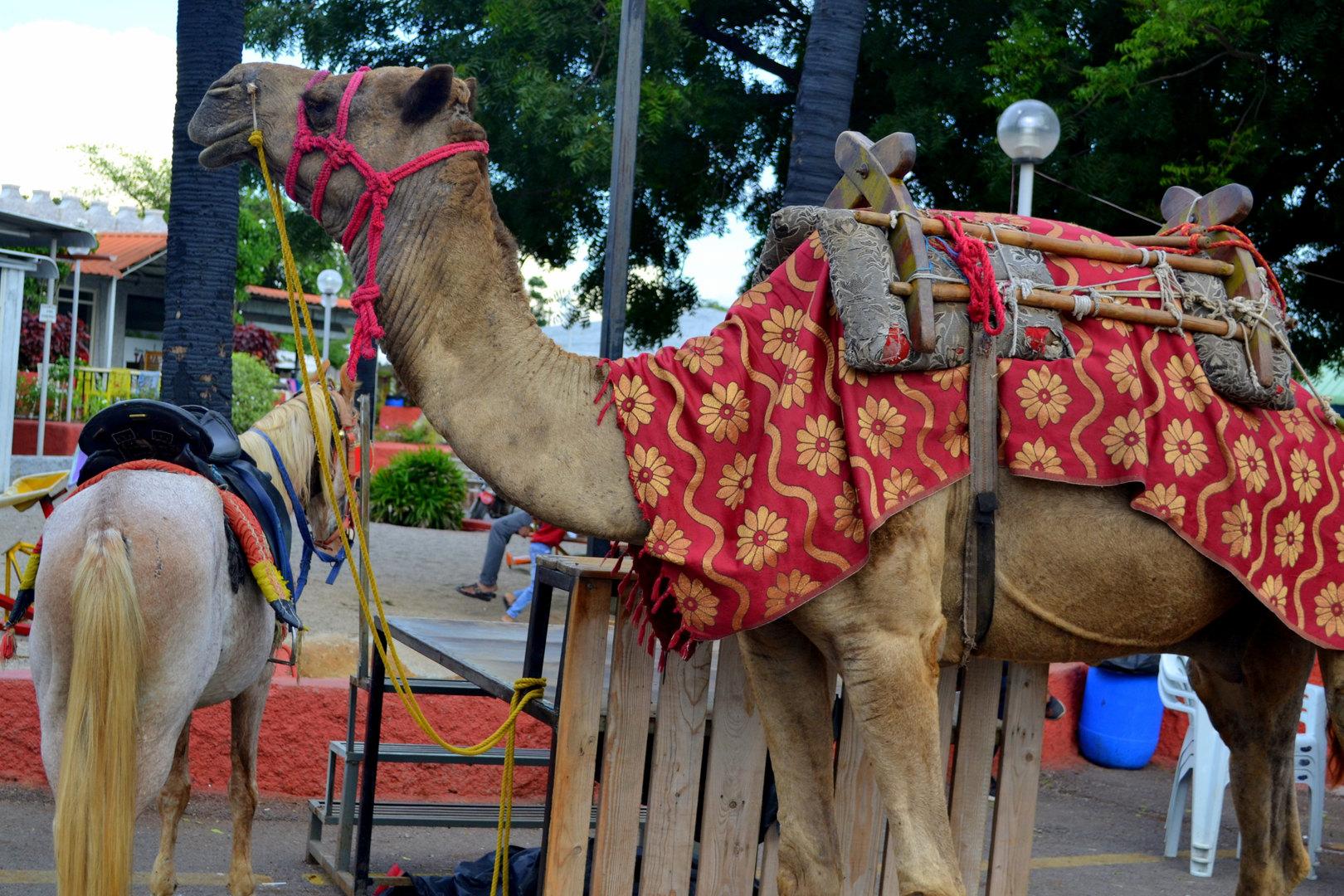 Camel & Horse rides