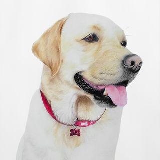 Golden Labrador Dog Pet Portrait in Colour Pencil