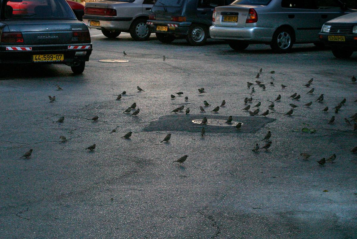 EinatAG-rp-39-sparrows.jpg