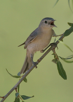 Lucy's Warbler, Vickers (2015_01_08 11_5