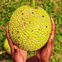 Breadfruit_edited.jpg