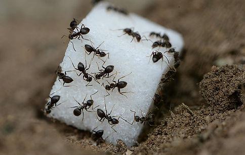 ants in chicago.jpg