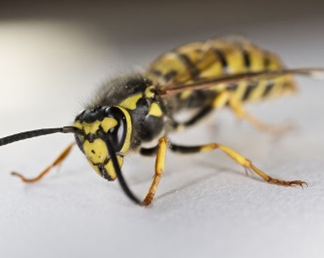 Wasp-Small.jpg