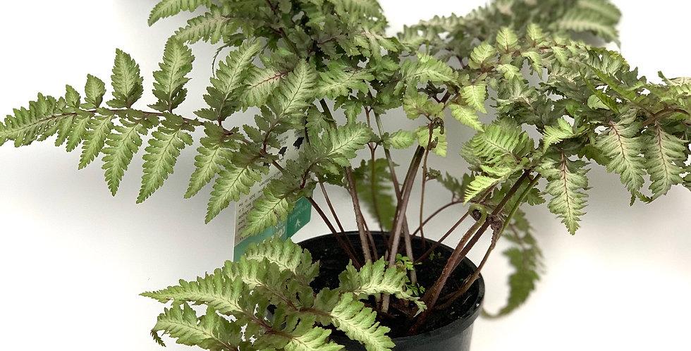 Japanese painted ferns (Athyrium Niponicum Pictum)