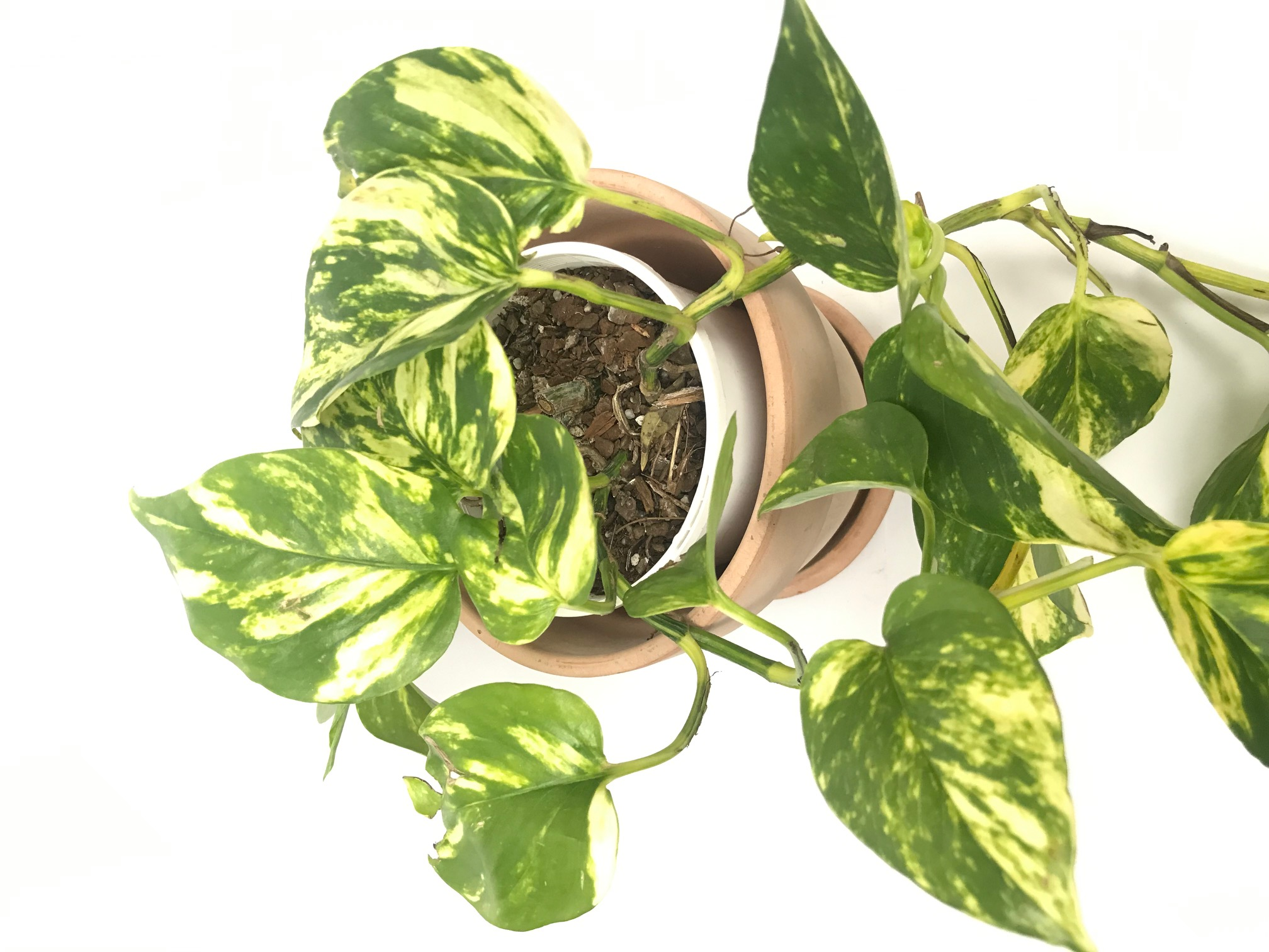 Devils Ivy Pothos Epipremnum Aureum Trop