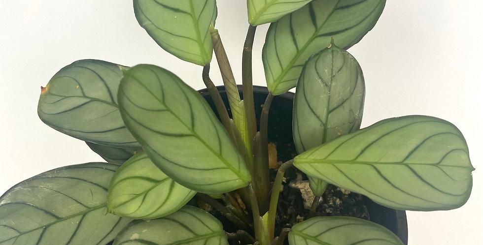 Ctenanthe Burle-Marxii (Fishbone Prayer Plant)