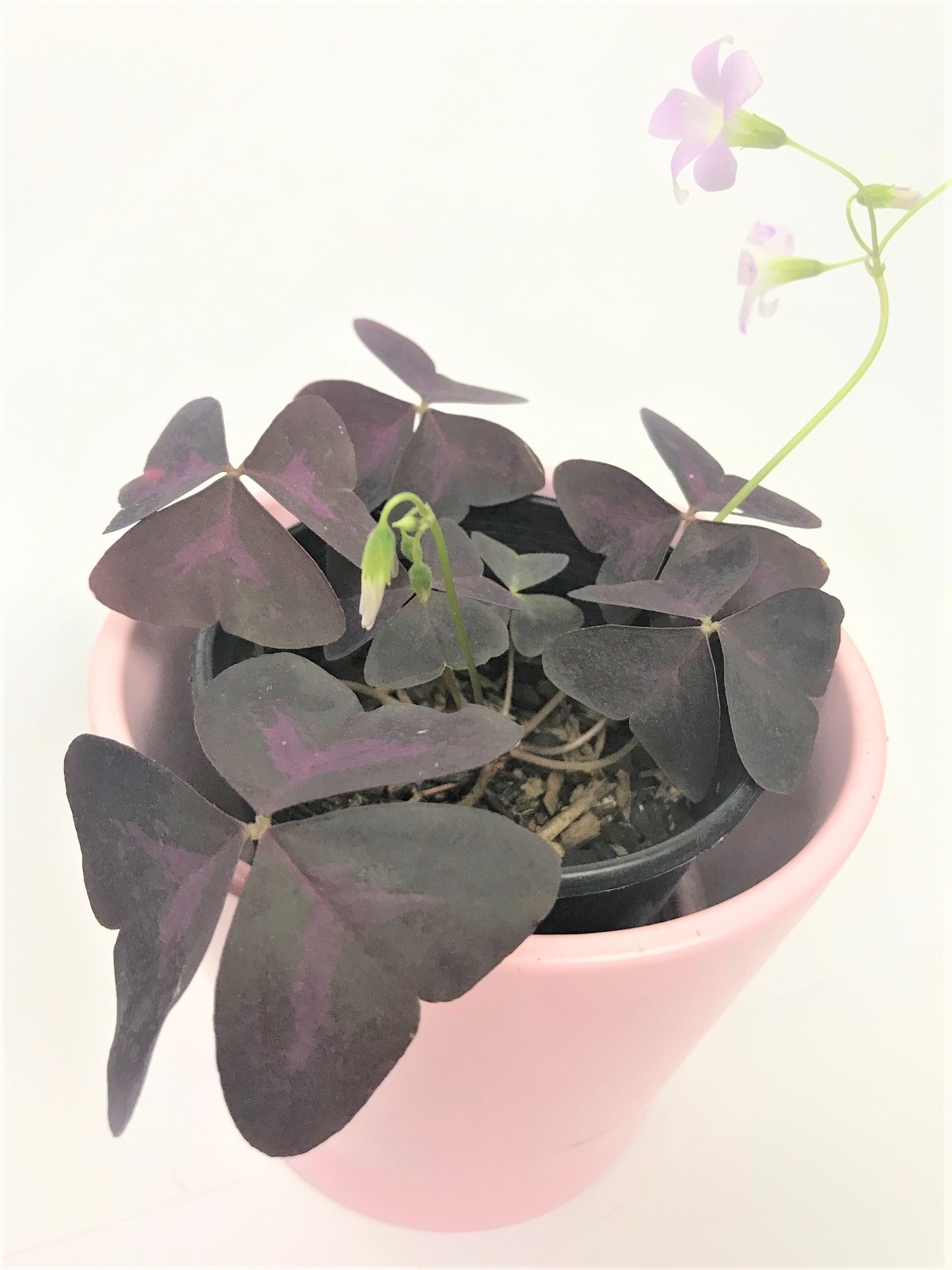 Oxalis Triangularis Tropical Plant Empir