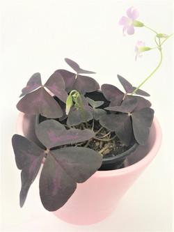 Oxalis Triangularis Tropical Plant Empir