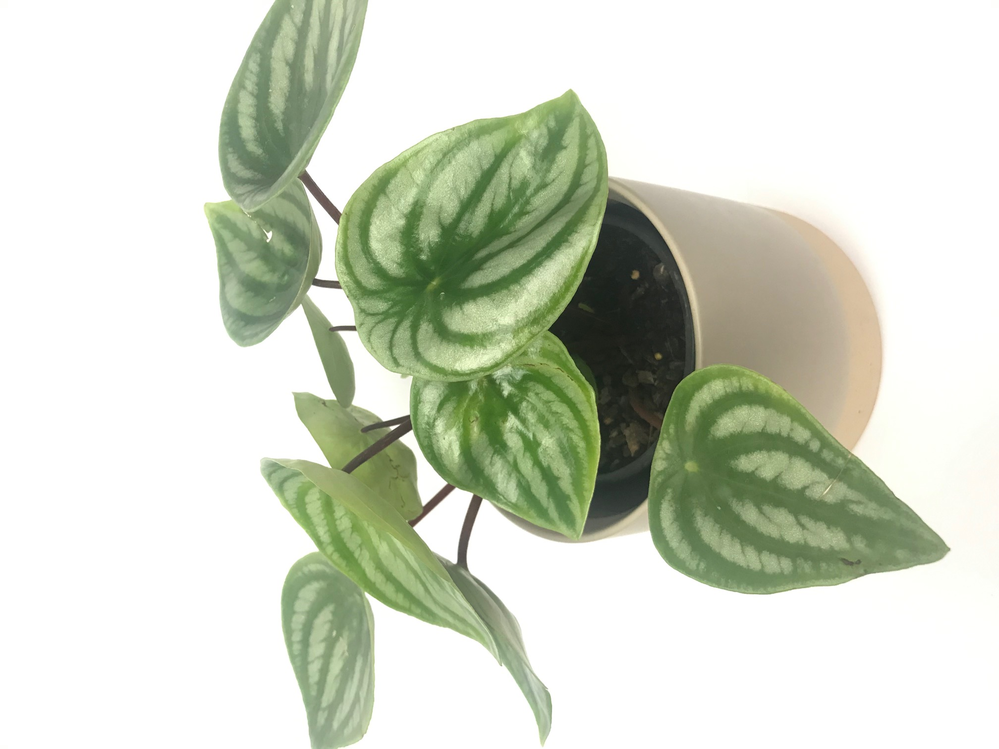 Peperomia Argyreia Watermelon pet friend