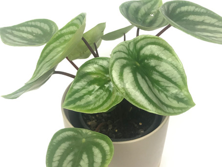 "How to Care for ""Peperomia Watermelon""  (Peperomia ArGyreia)"
