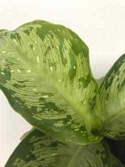 Dieffenbachai Maculata Tiki Tropical Pla