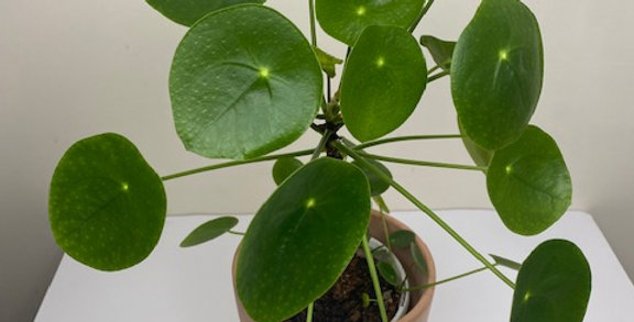 Advanced Pilea with pups