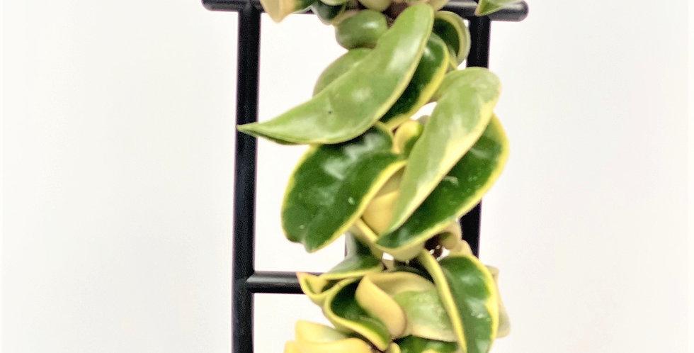 Variegated Hoya Hindu Rope (Hoya Carnosa Compacta Variegata)
