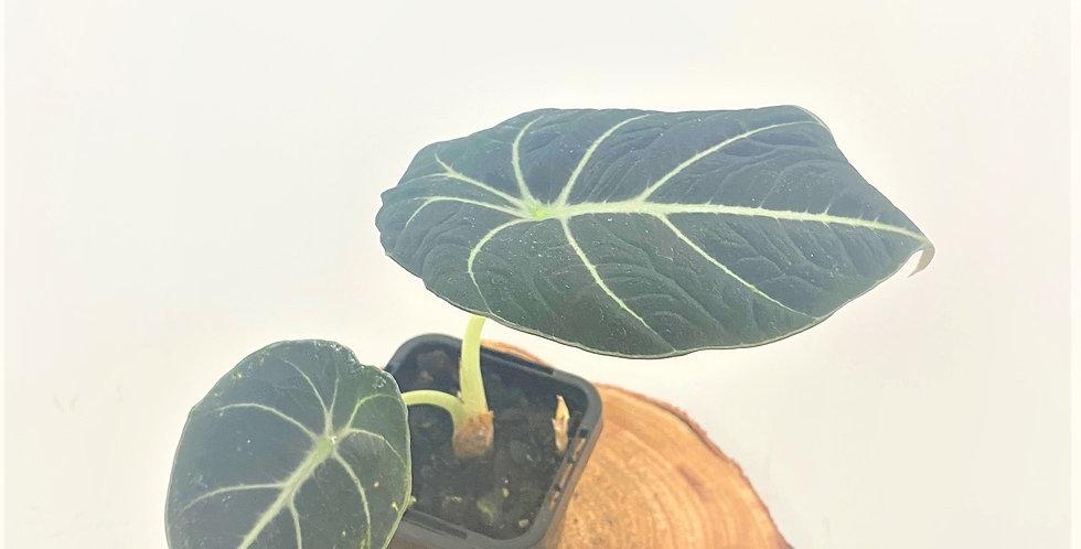 Alocasia Reginula (aka Black Velvet)