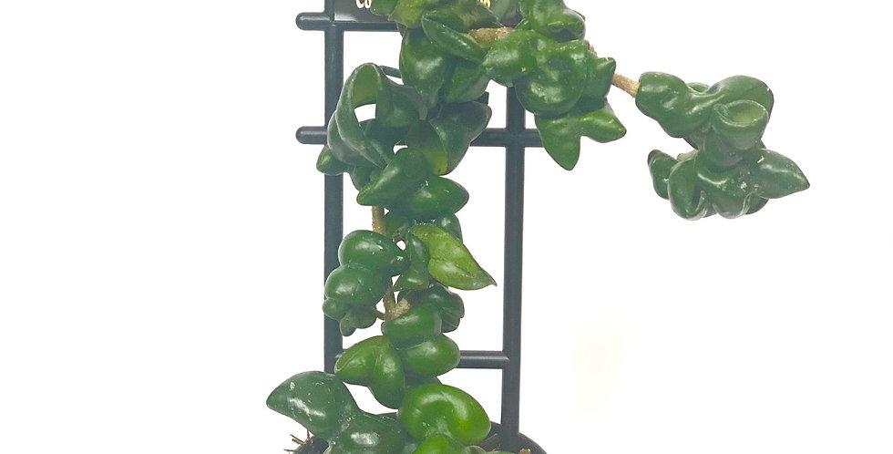 Dwarf Rope Hoya (Hoya Carnosa)