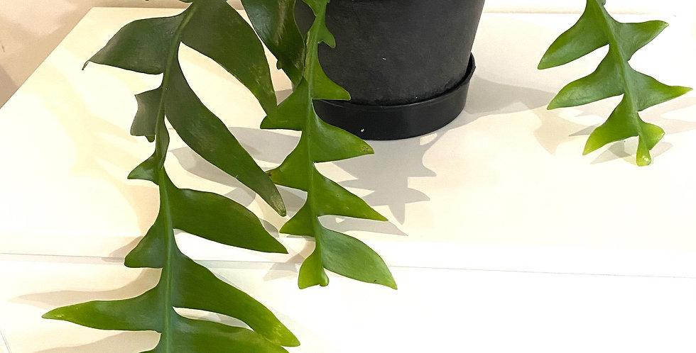 Epiphyllum Selenicereus Chrysocardium (Fernleaf Cactus)