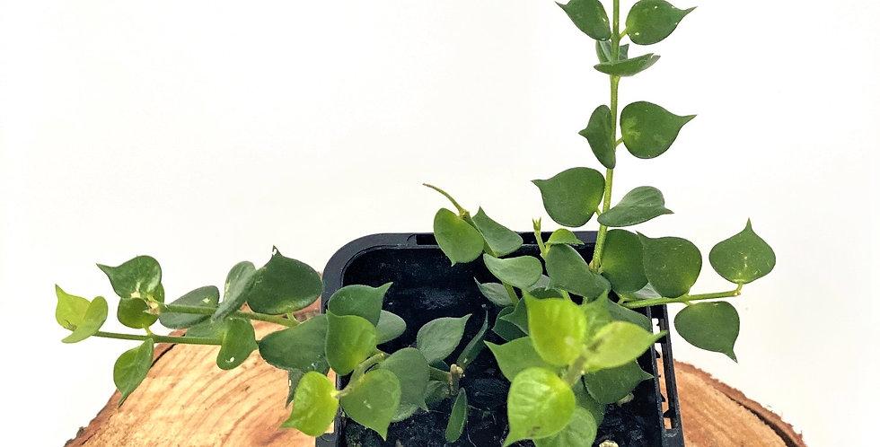 Dischidia Ruscifolia (Million Hearts Plant)