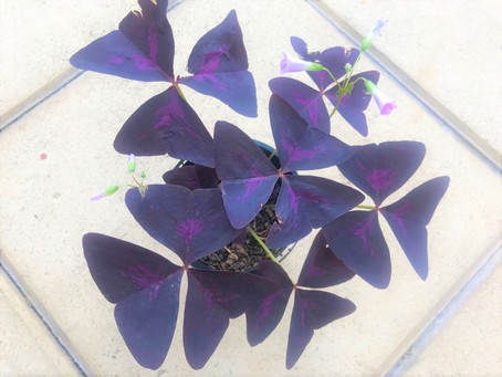 """Oxalis Triangularis"" (Purple Shamrock) Growing Tips"