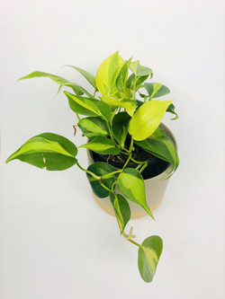 Philodendron Hederaceum Brasil high vari