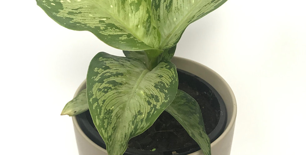 Dieffenbachia Maculata Tropical Tiki