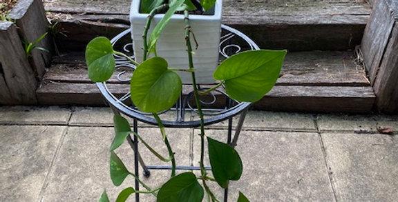 Devil's Ivy Pothos (Epipremnum Aureum)
