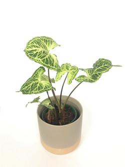 Syngonium Batik Tropical Plant Empire ra