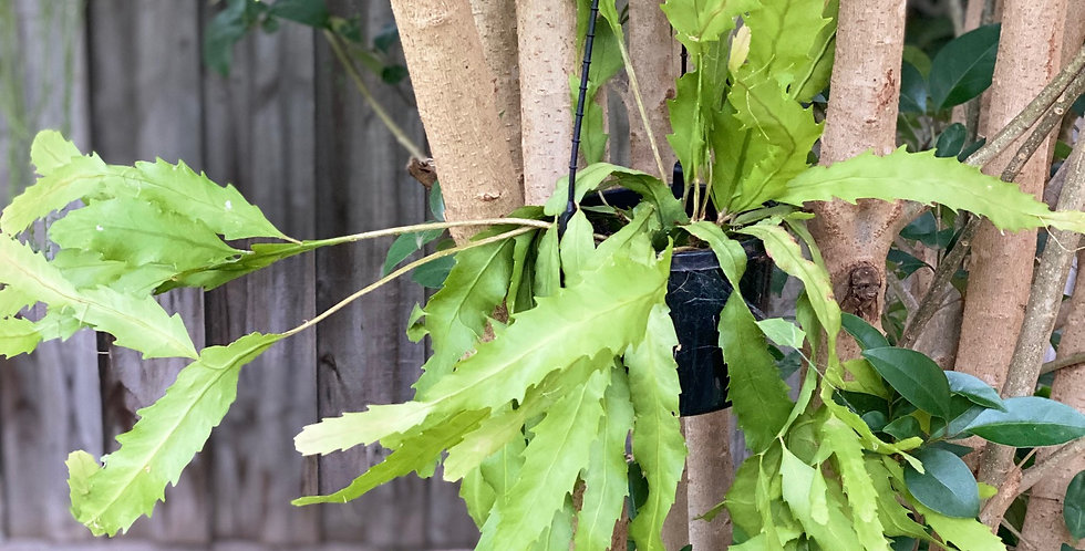 Lepismium Houlletiana (Jungle Cactus)