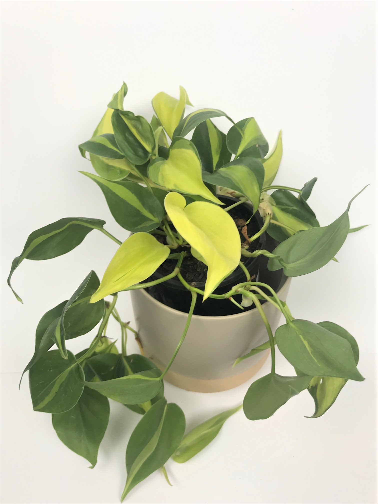 Philodendron Hederaceum Brasil high vari