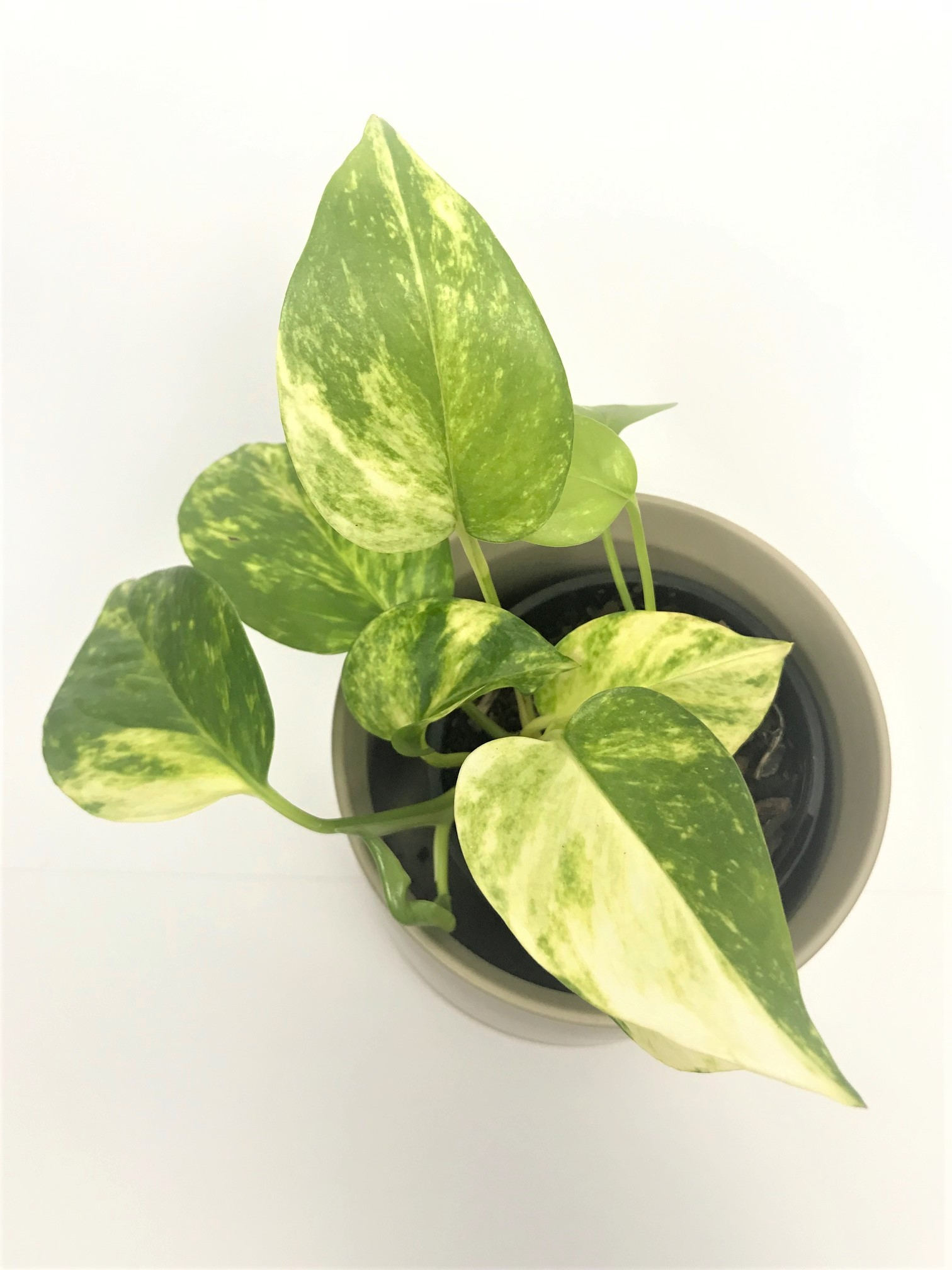 Marble queen pothos Tropical Plant Empir