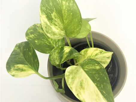 "Care tips for ""Marble Queen Pothos"" (Epiprenum Aureum)"
