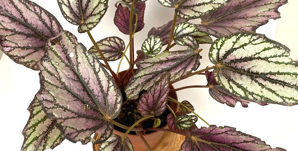 Begonia Hugh Mclaughlin