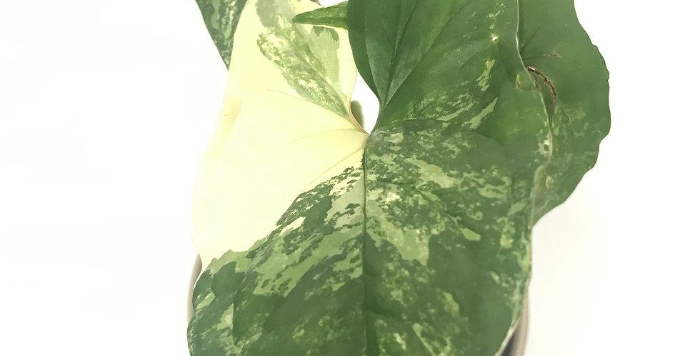 Variegated Syngonium Podophyllum (Albo-Variegatum)