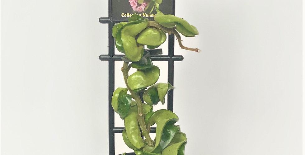 "Hoya Carnosa Compacta ""Hindu Rope"""