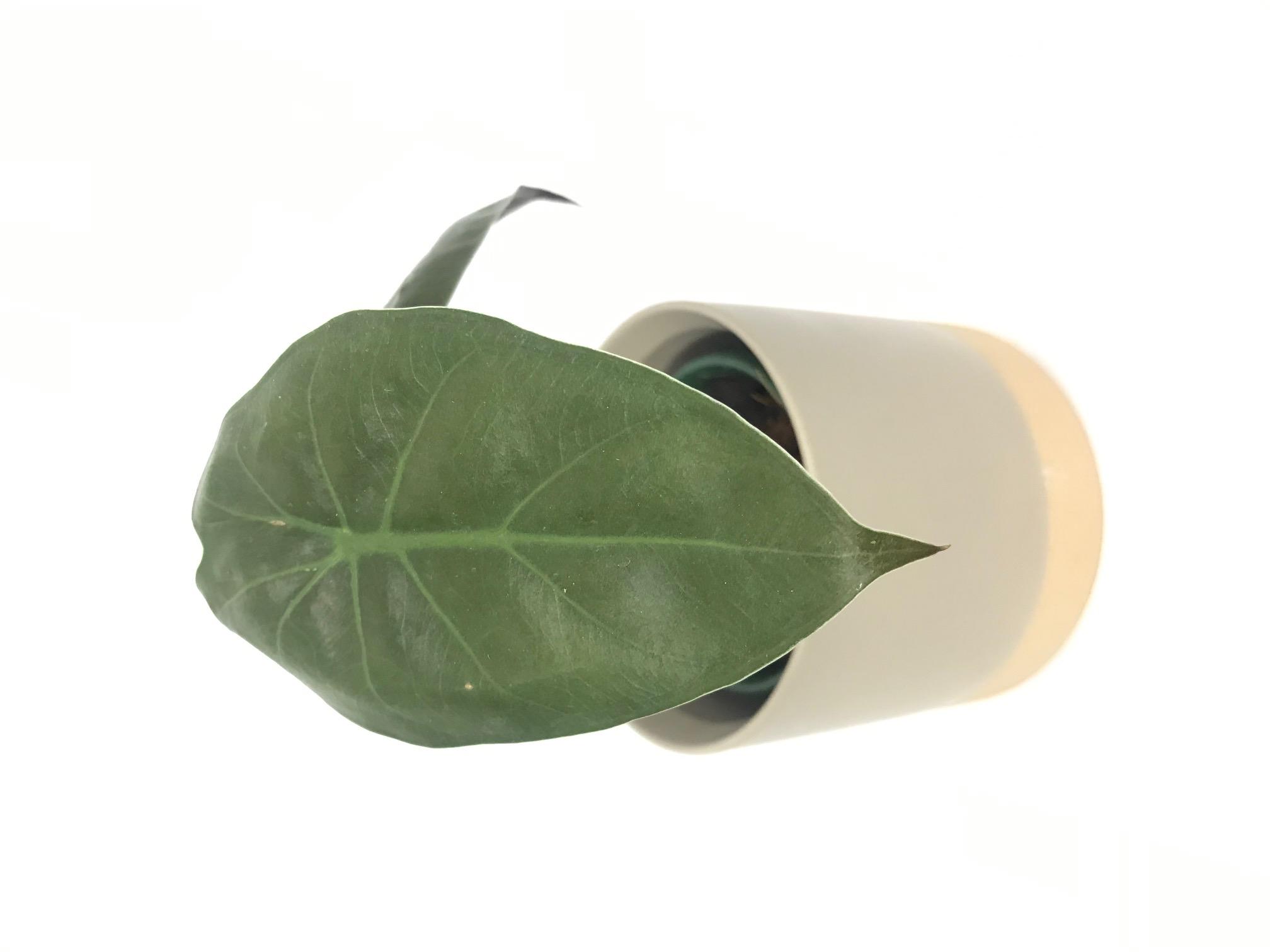 Alocasia Wentii Tropial Plant Empire Rar