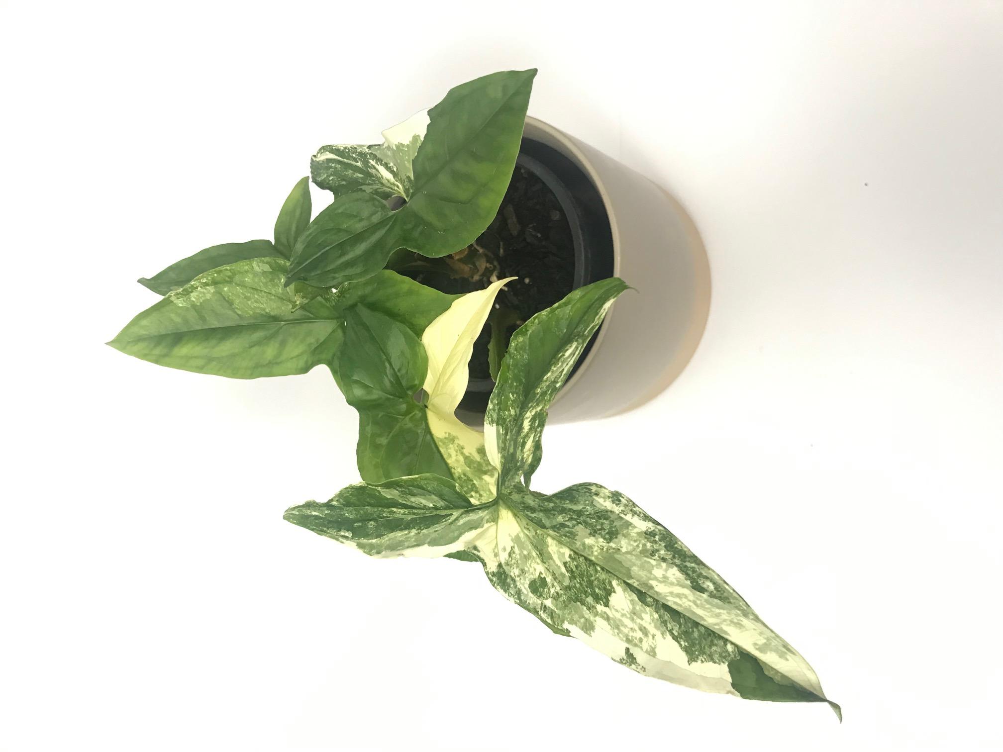 Syngonium Podophylum Albo Variegatum var