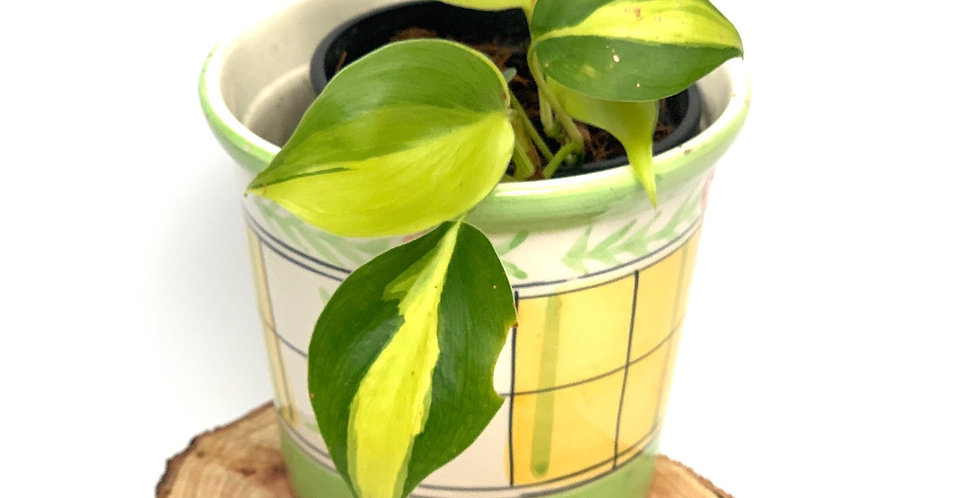 """Philodendron """"Brasil"""" Hederaceum"""