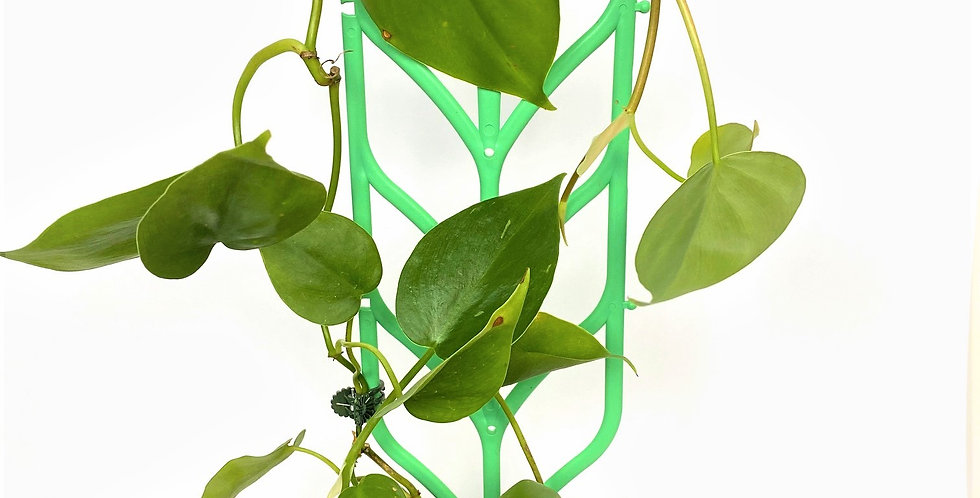 Philodendron Cordatum (Heart Leaf Philodendron)