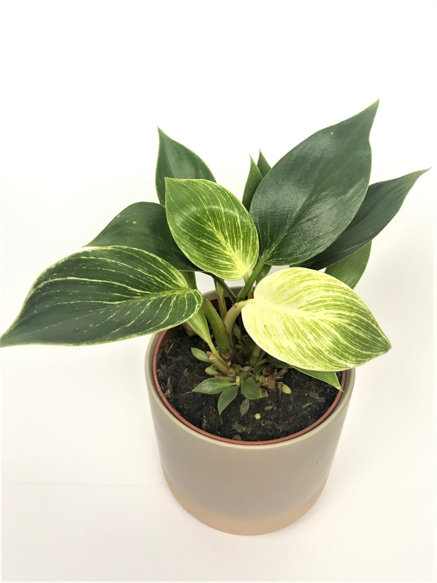 Philodendron Birkin Tropical Plant Empir