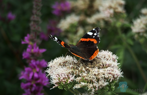 Red Admiral (Butterfly) - Robert Fry