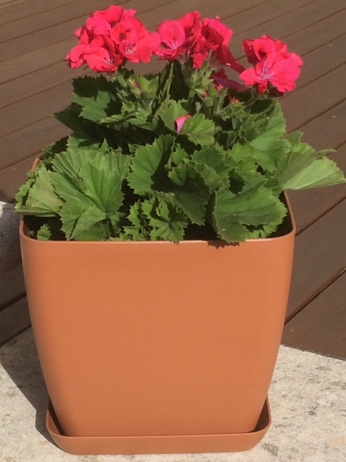 Begonia SquareTerracotta pot and saucer 28 cm