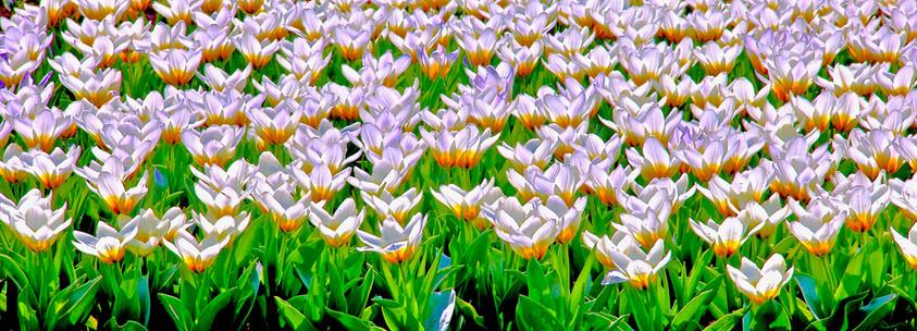 Keukenhof, Flores blancas 2.jpg