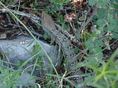 Lagarto Caiman - Gerrhonotus infernalis