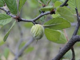 Prunus cercocapifolia.jpg
