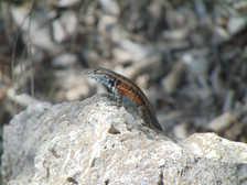 Sceloporus parvus