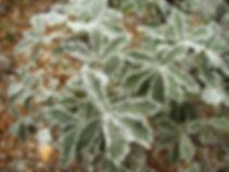 Quercus sideroxyla Encino - Camino del C