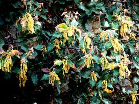 Quercus hintoniorum flor.jpg