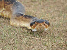 Carotalus molossus
